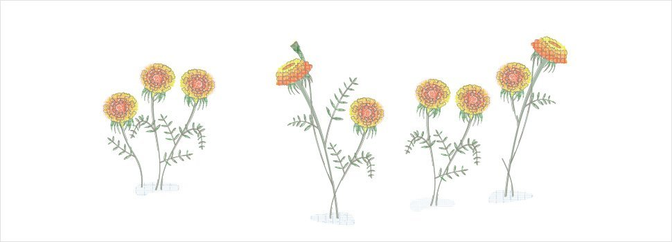 Marigold as a Mosquito Repellent: Does it Work?