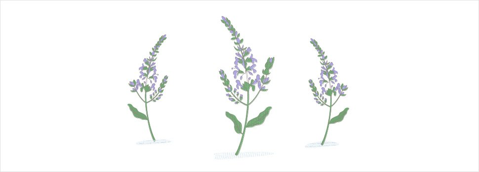 Sage as a Mosquito Repellent: Does it Work?